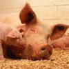 ВКрасноярском крае будут выращивать свиней под музыку Моцарта иЧайковского
