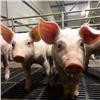 Всовременном свинокомплексе вКрасноярском крае родились первые поросята