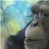Шимпанзе из«Роева ручья» получили подарки изМосквы