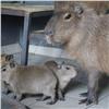 Вкрасноярском «Роевом ручье» родились капибары