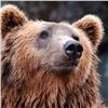 Накрасноярских «Столбах» считают медведей (видео)