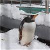 Пингвины вкрасноярском зоопарке порадовались выпавшему вмае снегу (видео)