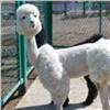 Новых альпак в«Роевом ручье» постригли под балерину ипуделя