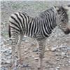 Вкрасноярском зоопарке появился насвет детеныш зебры (видео)