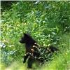 ВКрасноярском крае медведи стали чаще выходить клюдям