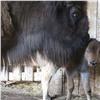 Красноярские зоологи сняли, как самка зубра защищает детеныша отчужих глаз (видео)