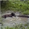 Из-за жары медведи накрасноярских «Столбах» устроили купание влуже (видео)