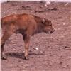 Выбрано имя для зубрёнка изкрасноярского зоопарка