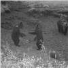 Накрасноярских «Столбах» запечатлели танец медвежат