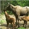 Красноярский заповедник показал жизнь лосиной семьи (видео)