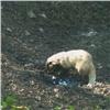 Принимающего грязевые ванны барсука запечатлели на«Столбах» (видео)