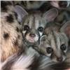 «Роев ручей» показал малышей кошачьих генет
