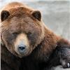 ВЕнисейском районе напоселковой свалке заметили медведей (видео)