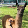 Вкрасноярском зоопарке появилась целующаяся гуанако