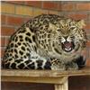 Вкрасноярском зоопарке появились леопарды