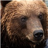 Вкрасноярском заповеднике насчитали избыток медведей