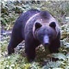 На«Столбах» вводят ограничения из-за медведей (видео)