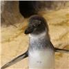 Юного очкового пингвина вкрасноярском зоопарке познакомили состаей