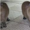 Вкрасноярском зоопарке всемье капибар родились детеныши