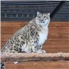 Снежный барс вкрасноярском зоопарке обживает новый вольер