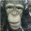 Личинок идругие сюрпризы пообещали обезьянам «Роева ручья» вчесть уходящего года