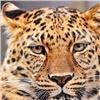 ВБоготоле наженщину напал леопард (видео)