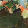 Замерзавших насевере красноярских фламинго выходили иподселили встаю (видео)