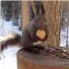 Красноярка сняла навидео борьбу белки сгрецким орехом