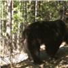 Агрессивные медведи вышли изберлог на«Столбах» из-за сырости