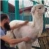 Красноярский мотобарбер постриг альпаку взоопарке