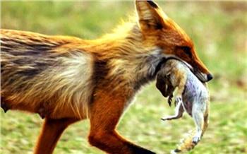 Лисы, утки ипеченьки: «сезон охоты» наТатышеве