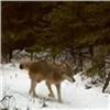 Живущие на«Столбах» серые волки попали навидео