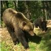 Закрытая зона Столбов около города превратилась в«медвежий детский сад» (видео)
