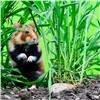 Сибирские зоологи изучают исчезающего хомяка