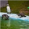 Жизнь уникальных красноярских пингвинов сравнили спопулярным ТВ-шоу