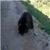 Натрассе Красноярск— Енисейск обнаружили медвежонка (видео)