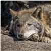 В«Роевом ручье» умер волк-долгожитель