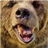 ВКемеровской области медведь задрал собаку вместо еехозяина