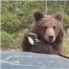 ВКрасноярском крае водители угостили медвежонка пряниками (видео)
