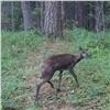 Вфотоловушку на«Столбах» попал самый маленький олень (видео)
