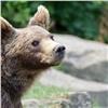 «Малину любит»: вЕнисейском районе медведь поночам ест ягоду вогородах (видео)