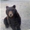 «Вышел инебоится»: вКрасноярском крае медведь напугал водителей (видео)