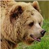 Медведь вышел клюдям вАчинском районе
