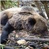 Гулявшего поЕнисейску медведя застрелили