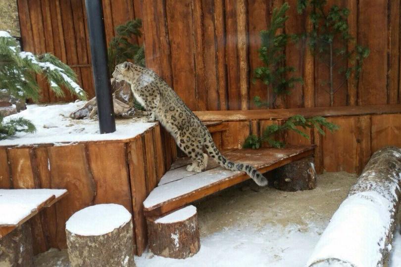 В «Роевом ручье» снежный барс отмечает новоселье