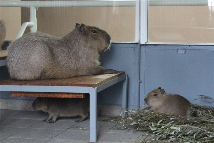 Вкрасноярском «Роевом ручье» родились капибары, дикобразы инутрии