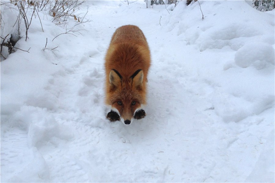 ВКрасноярске профессионалы заповедника «Столбы» предостерегли гостей от питания лисиц