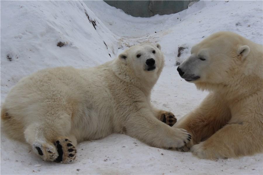 «Роев ручей» обнародовал «романтическое» видео сбелыми медведями