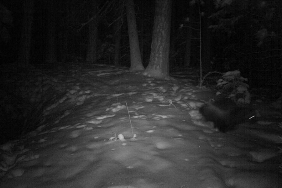 Накрасноярских «Столбах» вобъектив фотоловушки впервый раз угодила росомаха