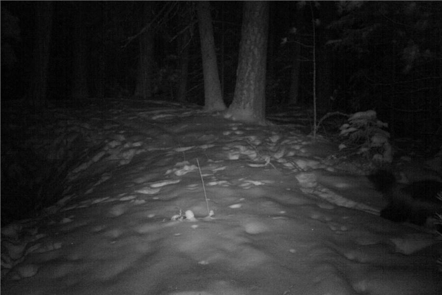 «Невидимый» зверь впервый раз попал вфотоловушку вКрасноярске